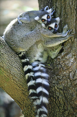 Ring-tailed Lemurs Madagascar Poster by Cyril Ruoso
