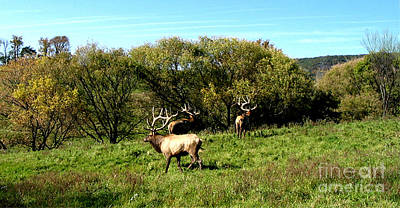 Roaming Elk  Poster by The Kepharts