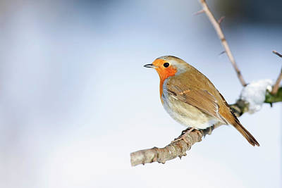 Robin (erithacus Rubecula) Poster by Andrew Howe