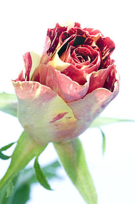 Rose Bud (rosa Sp.) Poster by Lawrence Lawry