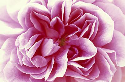 Rose Rosa Sp Detail Of Opening Flower Poster by Jan Vermeer