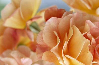Rose Rosa Sp Detail Of Yellow Flowers Poster by Jan Vermeer