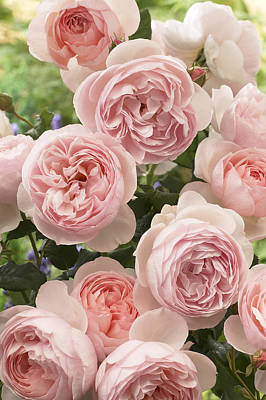 Rose Rosa Sp Heritage Variety Flowers Poster by VisionsPictures