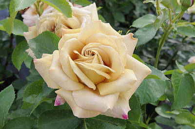 Rose Rosa Sp Honey Dijon Variety Flowers Poster by VisionsPictures