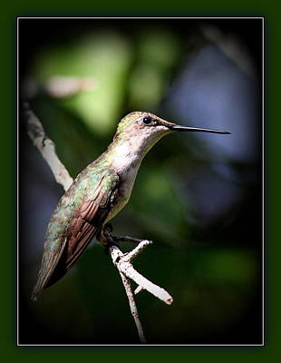 Ruby-throated Hummingbird - Just Beautiful Poster by Travis Truelove