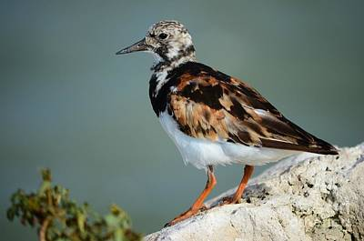 Ruddy Turnstone Poster by Lynda Dawson-Youngclaus