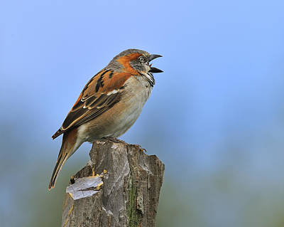 Rufous Sparrow Poster by Tony Beck