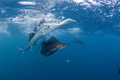 Sailfish Change Colors When Poster by Paul Nicklen