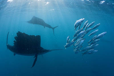 Sailfish Circle A Cluster Of Sardines Poster by Paul Nicklen