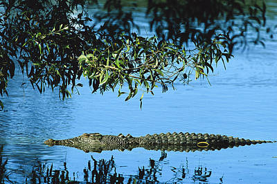 Saltwater Crocodile Australia Poster by Cyril Ruoso
