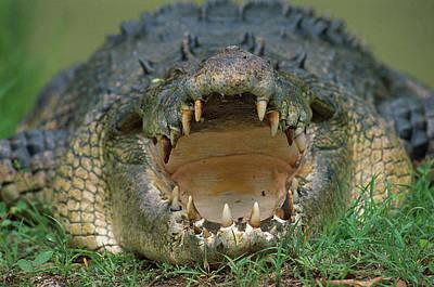 Saltwater Crocodile Crocodylus Porosus Poster by Jean-Paul Ferrero