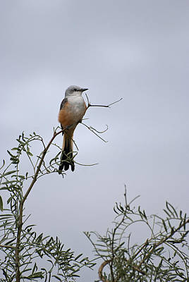 Scissor Tailed Flycatcher Poster by Melany Sarafis