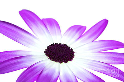 Senetti Magenta Bi-colour Poster by Richard Thomas