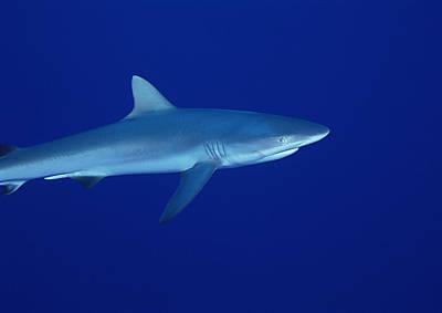 Shark Poster by Datacraft Co Ltd