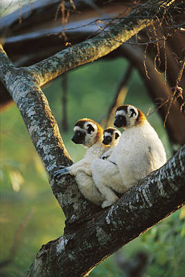 Sifaka Propithecus Sp Family Resting Poster by Cyril Ruoso