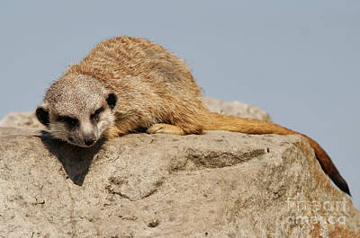 Sleeping Meerkat Poster by Michal Boubin
