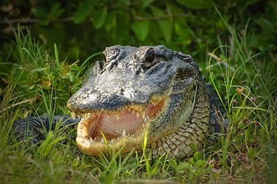 Smiling Alligator Poster by Rich Leighton