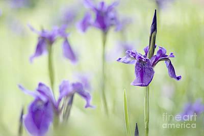 Softly Iris Poster by Jacky Parker