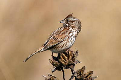Song Sparrow Poster by Rich Leighton