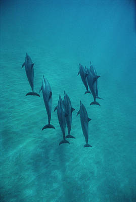 Spinner Dolphin Group Underwater Bahamas Poster by Flip Nicklin