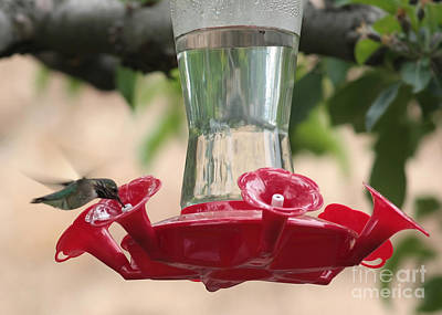 Spring Hummingbird At Feeder Poster by Carol Groenen