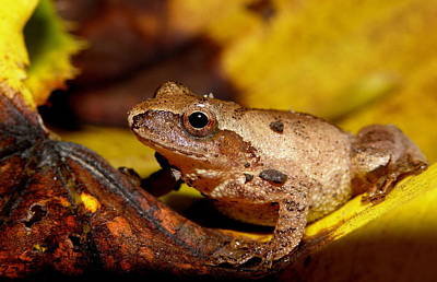 Spring Peeper On Fall Leaves Poster by Griffin Harris