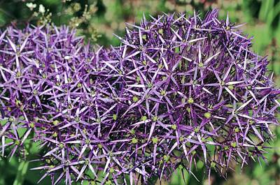Star Of Persia (allium Cristophii) Poster by Colin Varndell