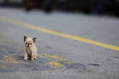 Street Kitten On Road Poster by Carlina Teteris