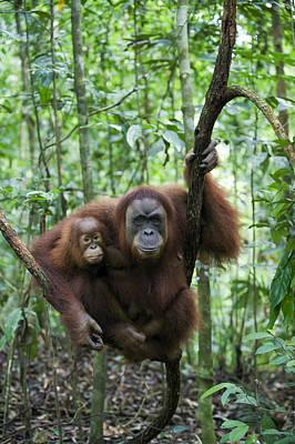 Sumatran Orangutan And Her 2.5 Year Old Poster by Suzi Eszterhas
