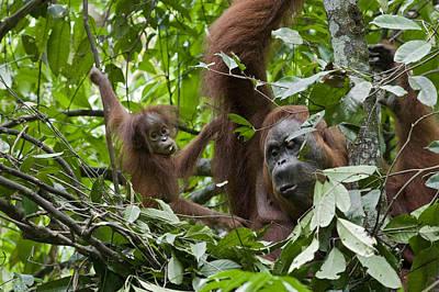 Sumatran Orangutan And Her 9 Month Old Poster by Suzi Eszterhas