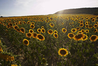 Sunflower Field, Aude, Languedoc-roussillon, France Poster by Puzant Apkarian