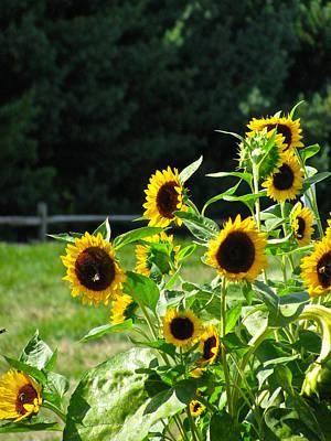 Sunflower Patch Poster by Debra     Vatalaro