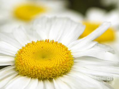 Sunny-side Up Daisy Poster by Sharon Talson