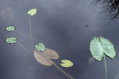 Surface Of A Lily Pond In Alaska Poster by Stephen Sharnoff