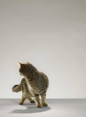 Tabby Cat Looking Behind Poster by Michael Blann