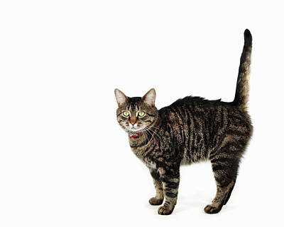Tabby Cat Poster by Luxx Images
