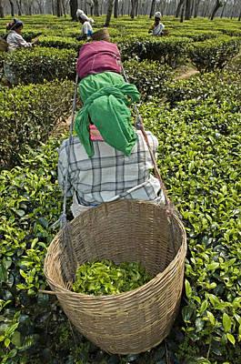 Tea Picker Poster by Tony Camacho