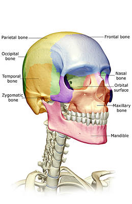 The Bones Of The Head, Neck And Face Poster by MedicalRF.com