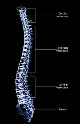 The Vertebral Column Poster by MedicalRF.com
