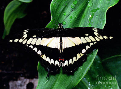 Thoas Swallowtail Butterfly Poster by Terry Elniski