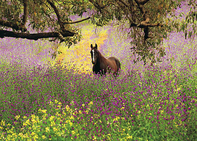 Thoroughbred Horse Among Wildflowers In The Chittering Valley, Western Australia Poster by Peter Walton Photography