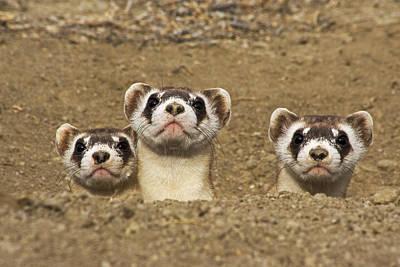 Three Black-footed Ferrets In Burrow Poster by Wendy Shattil and Bob Rozinski