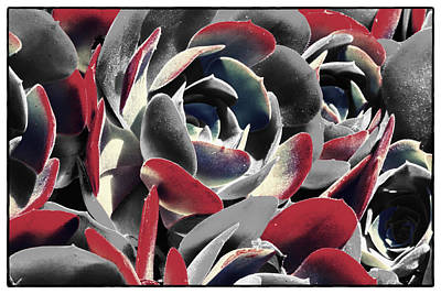Red Tipped Succulents Poster by Linda Dunn