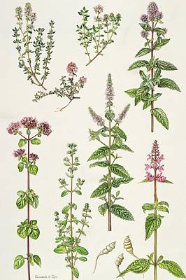 Thyme And Other Herbs  Poster by Elizabeth Rice