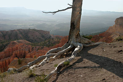 Tree And Roots In Bryce Canyon Poster by Randall Nyhof