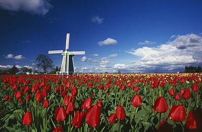 Tulip Field And Windmill Poster by Natural Selection Craig Tuttle