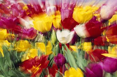 Tulips With Zoom Blur Poster by Natural Selection Craig Tuttle