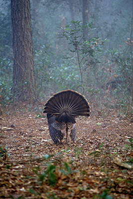Turkey Feather Tail Poster by David Campione
