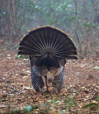 Turkey Tail Feathers Poster by David Campione
