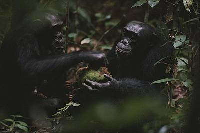 Two Chimpanzees Share Fruit Poster by Michael Nichols